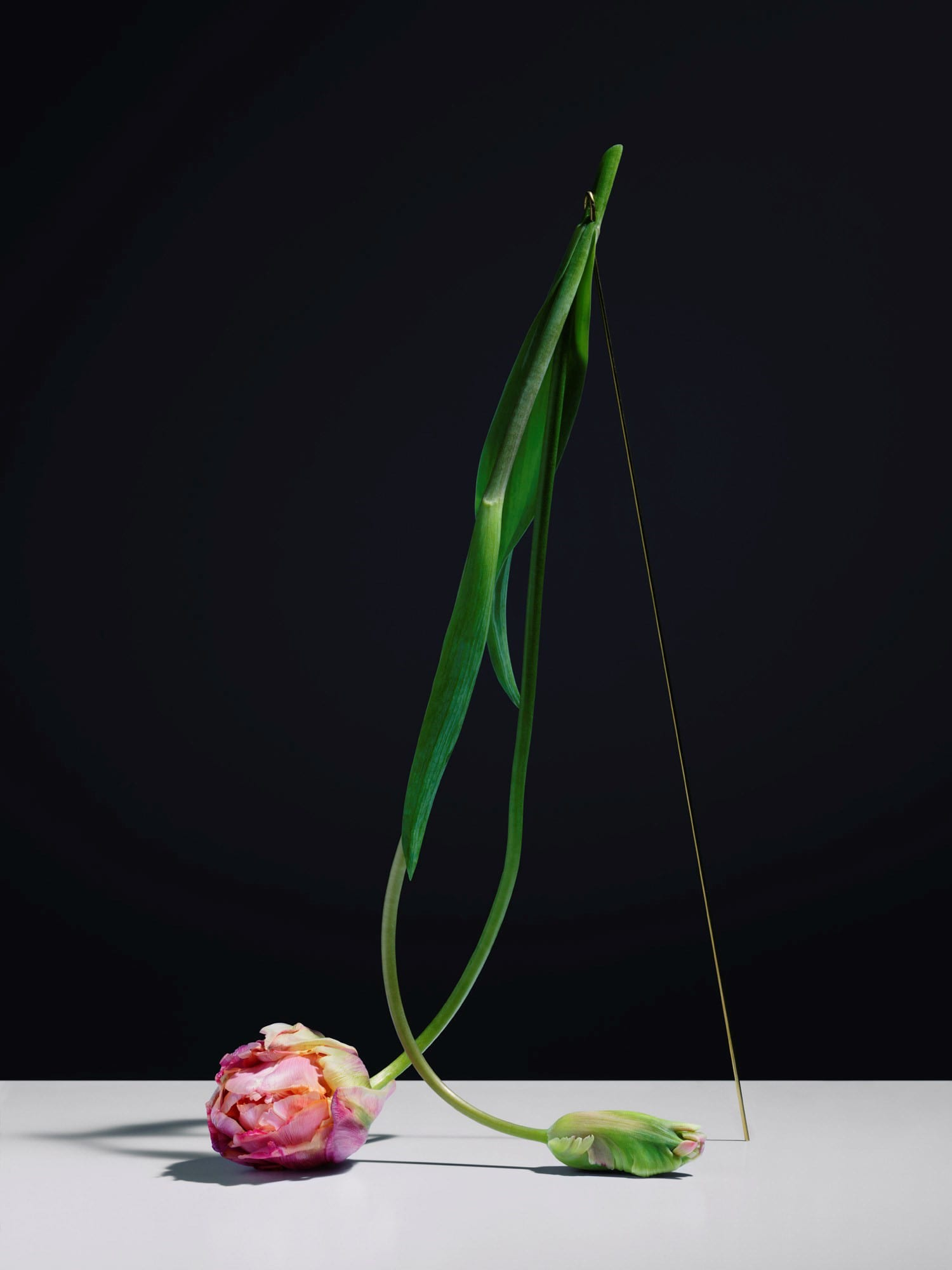 Carl Kleiner Choreography of dying tulip (3)